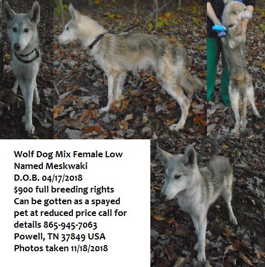 Wolf Hybrid puppy