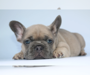 French Bulldog Puppy for sale in COTTONWD HGTS, UT, USA