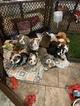 Bulldog Puppy For Sale in REDDING, California,