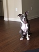 American Pit Bull Terrier Puppy For Sale in MOORESVILLE, NC, USA