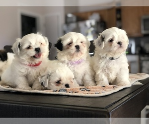 Shih Tzu Puppy for Sale in PATTERSON, California USA