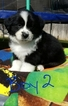 Australian Shepherd Puppy For Sale in SAN ANTONIO, TX