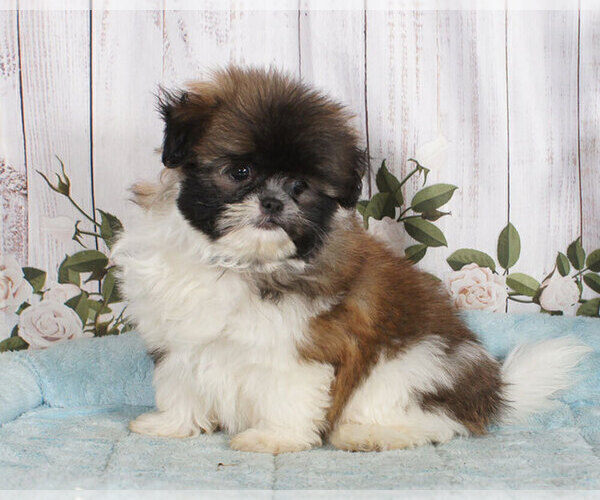 Medium Photo #1 Shiranian Puppy For Sale in PENNS CREEK, PA, USA