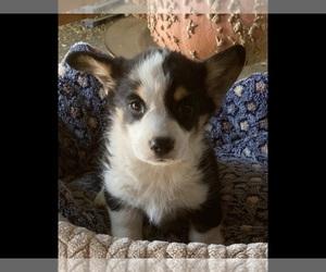 Pembroke Welsh Corgi Puppy for sale in MADERA, CA, USA