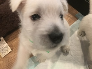 West Highland White Terrier Puppy For Sale in LOUISVILLE, KY, USA