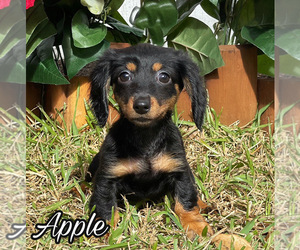 Dachshund Puppy for Sale in MIAMI, Florida USA