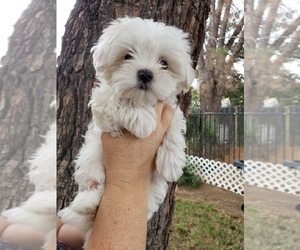 Maltese Puppy for sale in ONTARIO, CA, USA
