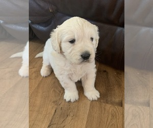 English Cream Golden Retriever Puppy for sale in DEARBORN, MO, USA