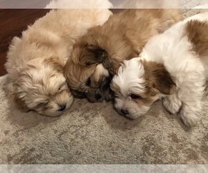 Coton de Tulear Puppy for sale in YELM, WA, USA