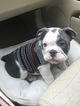 English Bulldog Puppy For Sale in RALEIGH, NC, USA