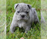 Puppy 4 Olde English Bulldogge