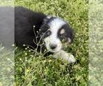 Small #19 Australian Shepherd