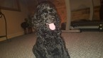 Poodle (Standard) Puppy For Sale in PINE RIVER, WI,