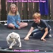 Small Photo #170 Dogo Argentino Puppy For Sale in PINEVILLE, MO, USA
