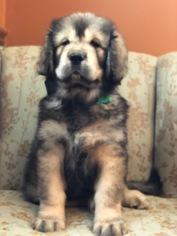 Tibetan Mastiff Puppy for sale in LAWSON, MO, USA