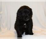 Puppy 8 Golden Newfie