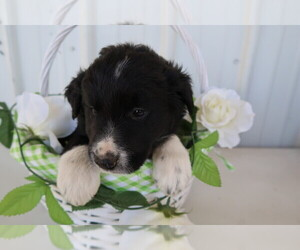 Border Collie Puppy for sale in ALPENA, MI, USA