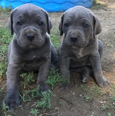 Cane Corso Puppy For Sale in PUEBLO, CO, USA