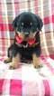 Lucas the Rottweiler