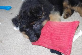 German Shepherd Dog Puppy For Sale in PHOENIX, AZ, USA