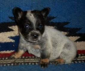Mini Corgi Puppies For Sale >> View Ad Cowboy Corgi Puppy For Sale Near Arkansas