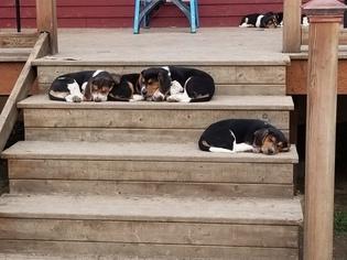 Beagle Puppy for Sale in CENTRALIA, Washington USA
