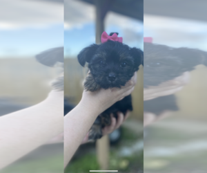 Chorkie Puppy for sale in FAIRLAND, IN, USA