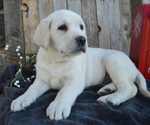 Labrador Retriever Puppy for sale in HONEY BROOK, PA, USA