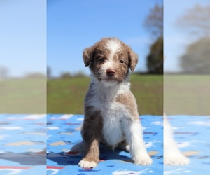 Aussiedoodle Puppy for sale in UNION CITY, TN, USA