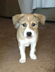 Basenji Puppy For Sale in LAKE MARY, FL