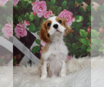 Puppy 9 Cavalier King Charles Spaniel