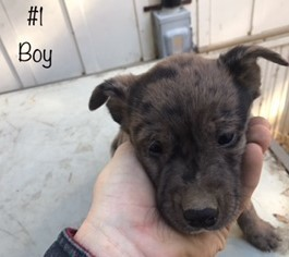 Australian Cattle Dog Puppy For Sale in GRANTS PASS, OR, USA