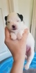 Pomeranian Puppy For Sale in JASPER, GA, USA