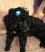 Poodle (Miniature) Puppy For Sale in WESTMINSTER, CO, USA