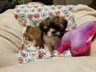 Zuchon Puppy For Sale in PARADISE, PA, USA