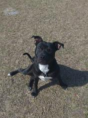 American Pit Bull Terrier Dog For Adoption in LEESBURG, GA, USA