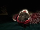 Small #43 Labrador Retriever