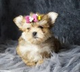 BABY DOLL FACE MORKIE BABIES READY TO GO