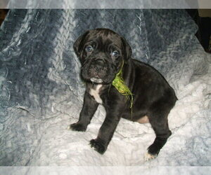 Cane Corso Puppy for sale in SEABECK, WA, USA
