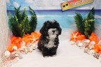 Maltipoo Puppy For Sale in LAS VEGAS, NV, USA