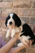 English Springer Spaniel Puppy For Sale in ROANOKE, TX, USA