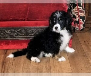 Miniature Bernedoodle Puppy for Sale in BELLVILLE, Ohio USA