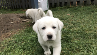Great Pyrenees Puppy For Sale near 98370, Poulsbo, WA, USA