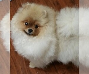 Pomeranian Dog for Adoption in SHERMAN OAKS, California USA