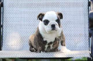 Bulldog Puppy For Sale in MYERSTOWN, PA, USA