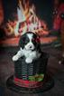 Cavalier King Charles Spaniel Puppy For Sale in BURKE, NY,