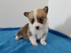 Pembroke Welsh Corgi Puppy For Sale in CLARK, MO, USA