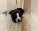 Puppy 5 Boston Terrier