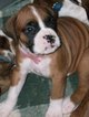 Boxer Puppy For Sale in CANEY, KS, USA