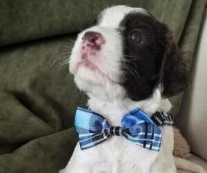 English Springer Spaniel Puppy for sale in MARTINSBURG, WV, USA